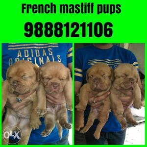 Top quality French mastiff puppy available in