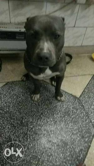 American Pitbull terrier for mating. 1 year old