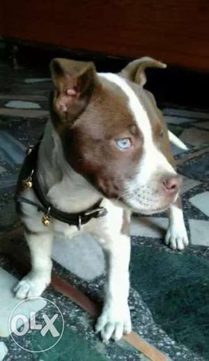 Brown American Staffordshire Terrier Puppy