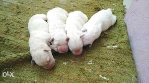 Champion show quality Labrador puppies for sale