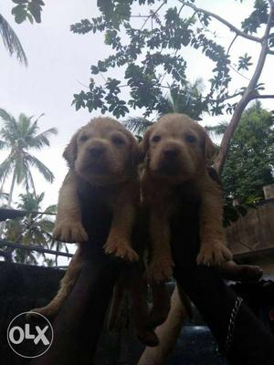 Heavy size lab female puppies available for sale
