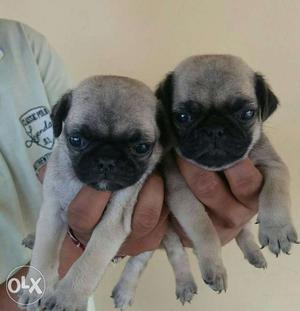 Show quality pug puppies for sale..