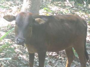 Vechur bull In Adoor