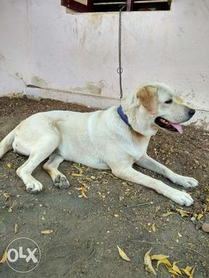 1 year 3 months old yellow white colour Labrador