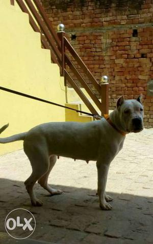 14 months dogo Argentina female ready for new home