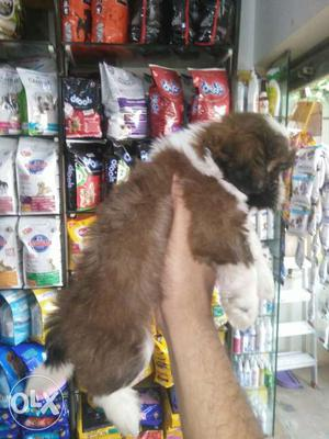 45days shihtzu male puppy available contact:rohit