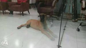 5 months old pure greatdane dog for sale in Surat