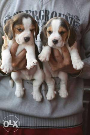 Beagle male female puppies available in Delhi
