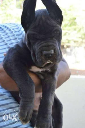 Black And White Great Dane Puppy