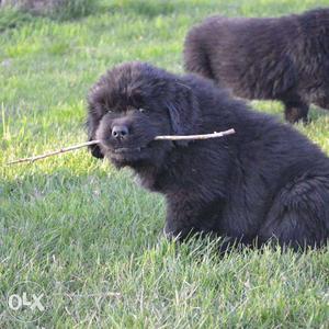 Cane Corso kennel - Super top show Newfoundland puppies top