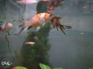 Gold fishes 6 cm long. 3 fishes for 50 rs