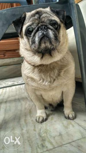 Healthy Pug (male) available for mating