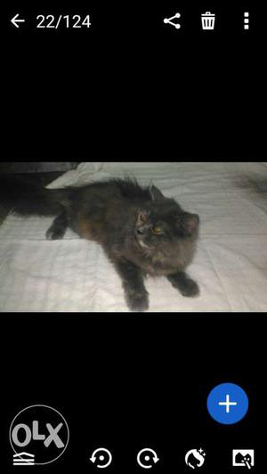 I'm having Persian kitten for sale with multi
