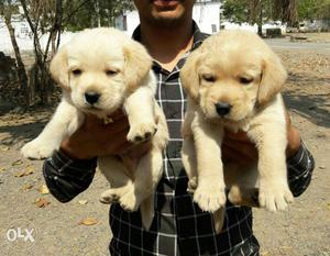 Labrador's puppies available all breed top quality