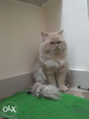 Pure Persian cat. his age is 3-4 year old.