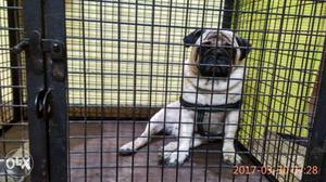 Pure Pug dog of 18 months old for sale with cage.