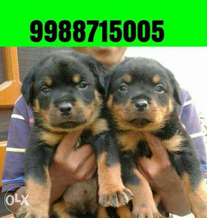 Rottweiler puppy 35 days old pure breed available