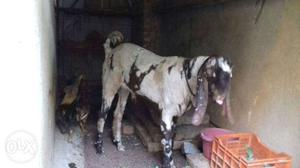 Totapuri rajistan breed 11 months old goat