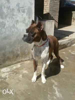 11 months old boxer female near on heat