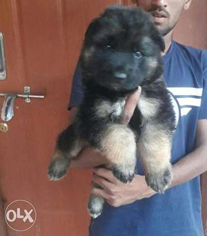 All types of home breed puppies available