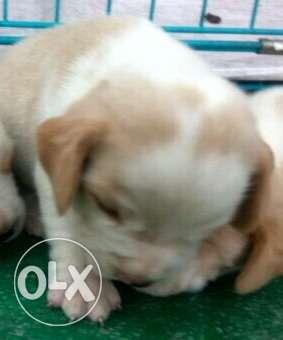 Beagle lemon white colour bet quality 29 days