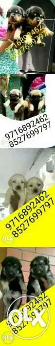 Full heavy Full amzing Dogs puppies of all types