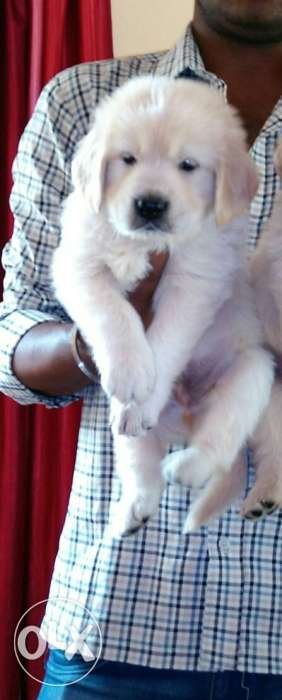 Golden retriever male puppy is ready to go his