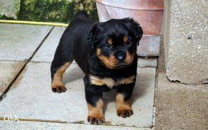 HEAVY Quality rottweiler Female pups