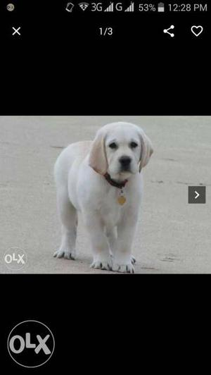 I Need A Lab Female Pet For Rs:- Urgent