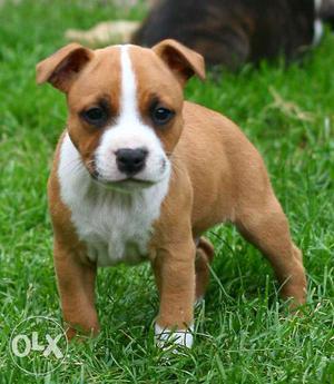 Just a few days old American Pitbull