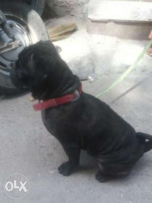 Pug male black color for sale & exchange 2year old