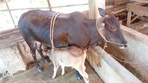 Vechur Cow For Sale