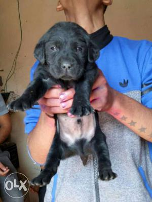 Black labradore puppies sell All breed available