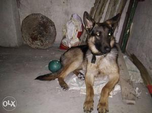German Shepherd male 1yr old