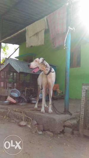 Great Dane female 2year's Old