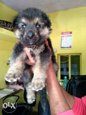 Gsd female puppies sell All breed available