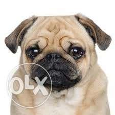 I. have Makarpuras sweet n New// cute Pug male puppy B