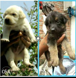 Labra gsd n other all breed puppies available