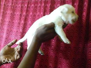 Labrador pappy ready to new home very acyive &