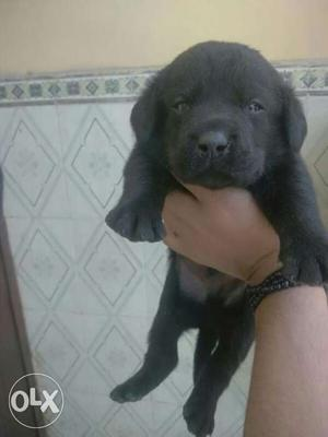 Labradore black colour puppies sell All breed