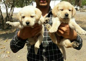 Labradore fawn colour puppies sell All breed top
