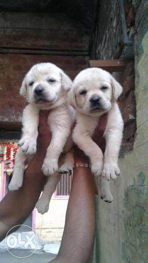Labradore female puppies top quality breed pure