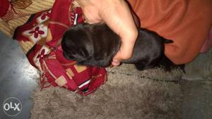New born PUG babies