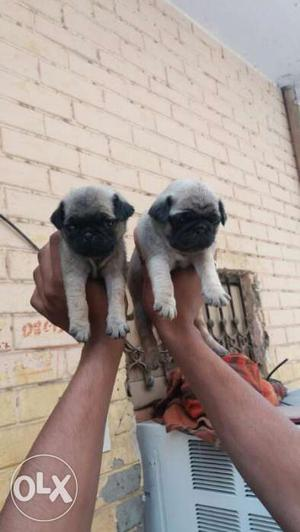 Pug puppies available familiar dog puppies