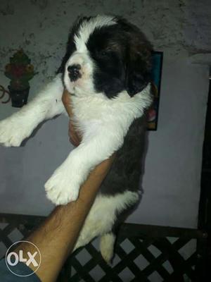 Saint Bernard female puppies All breed top
