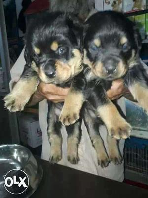 Singh kennel all dog breed pup sel and purchase