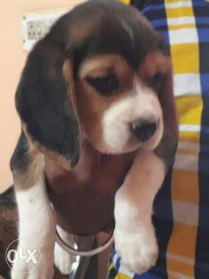 Tricolor BEAGLE MALE Puppy with paper