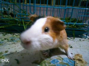 Tricolor Guinea Pig