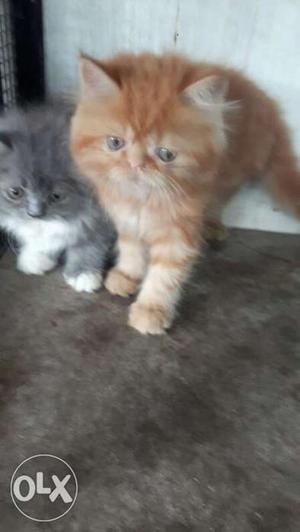Two Orange And Gray Long Fur persian Kittens
