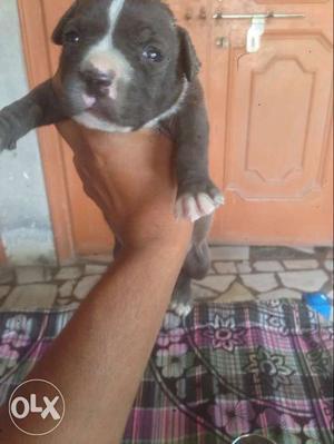 Blue American Staffordshire Terrier Puppy